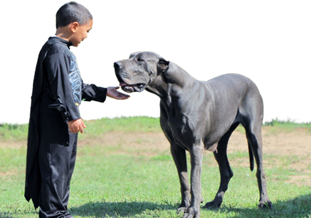 Royal Elite's Great Dane Dam - Gabby