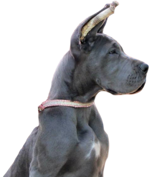 Puppy Care | - Royal Elite Great Dane Ears
