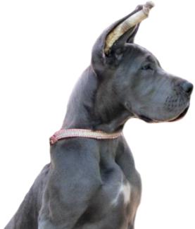 Ear Cropping - Royal Elite's Great Dane
