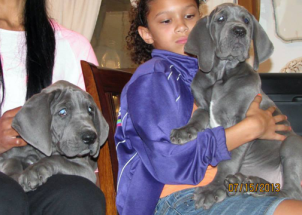 Royal Elite's Great Dane May Litter Puppy