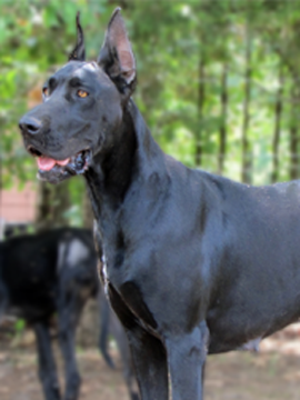 Royal Elite's Great Dane Dam - Nisha