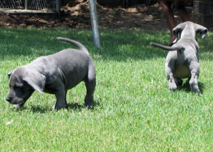 Royal Elite's Great Dane Past Puppy Litters