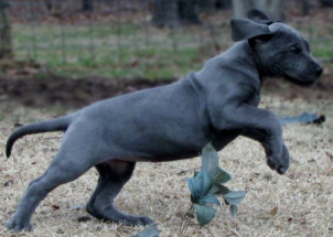 Royal Elite's Past Great Dane Past Puppy Litter