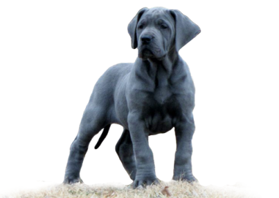 Royal Elite's Great Dane Puppy
