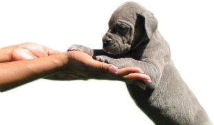 Puppy cautions- Royal Elite's Great Dane Puppy