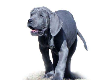 Royal Elite's Great Dane Puppy