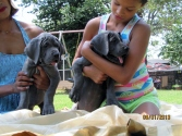 Royal Elite's May 2013 Puppy Litter