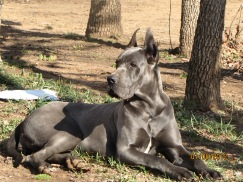 Royal Elite's Great Dane